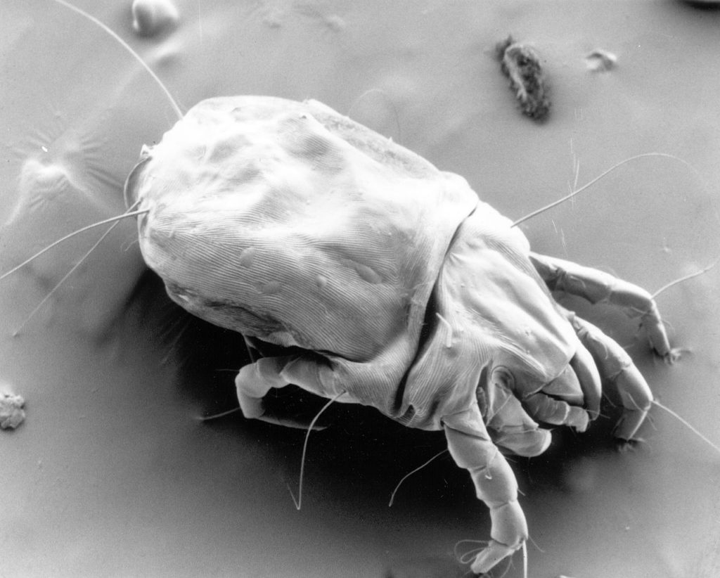 Where Do Dust Mites Come From
