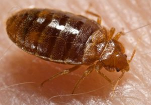 Dust Mites vs. Bed Bugs