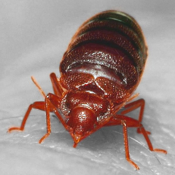 Bed_bug_Cimex_lectularius_9627010587