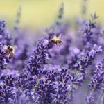 Does Lavender Repel And Kill Bed Bugs